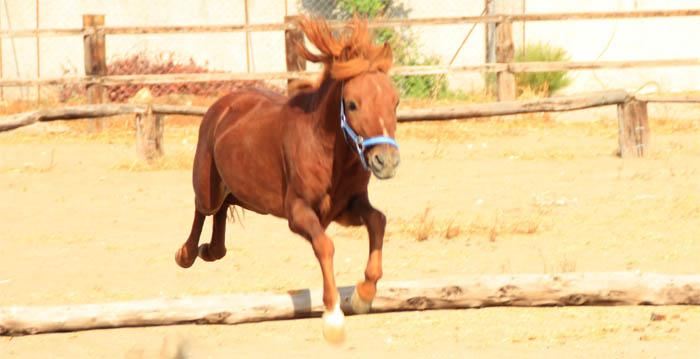Rhodian Pony