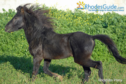The miniature horse of Rhodes (Rhodian Pony)