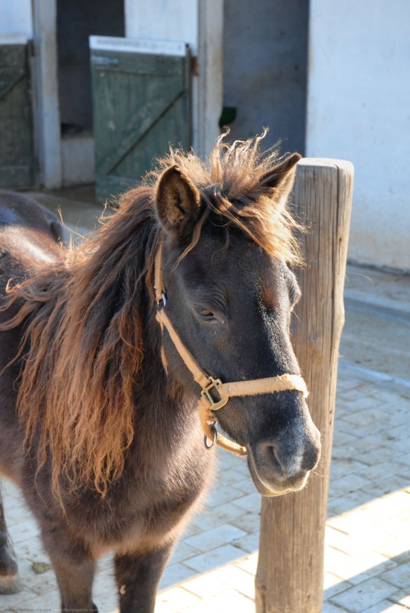 The miniature horse of Rhodes (Rhodian Pony) © Rhodes Guide / RhodesGuide.com